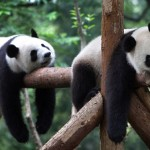 Maybe these pandas just finished their exhaustive search!