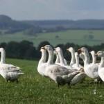 1934 geese in field