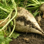 A sugar beet